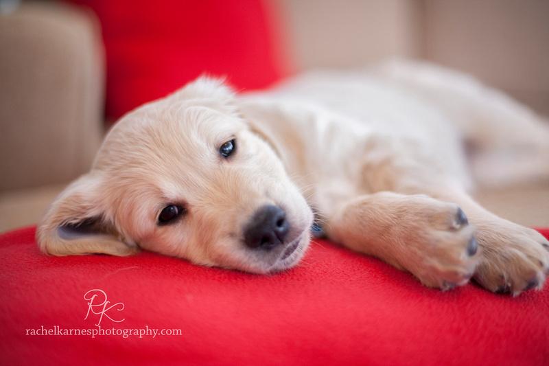 Sleepy golden puppy lifestyle family photography in Williamsburg VA