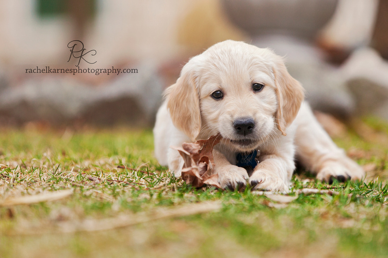 Golden puppy photo outside in creekside landing in Williamsburg Virginia