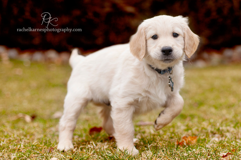 Golden Retriever puppy photo shoot in Williamsburg Virginia